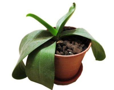 трипсы на орхидеях как бороться