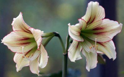 амариллис уход после цветения
