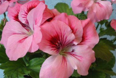 pink rambler пеларгония