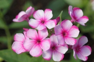 флоксы когда цветут