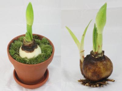 гиппеаструм посадка луковицы