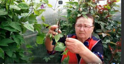 клематис размножение черенками летом