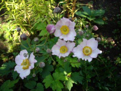 многолетние цветы для дачи на севере