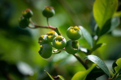 икотник серо зеленый