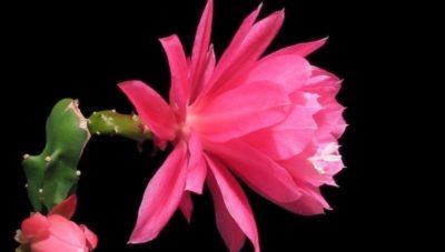 кактус с розовым цветком