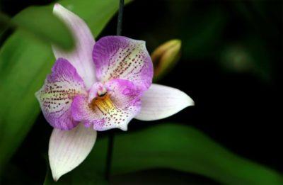 орхидея где растет в природе