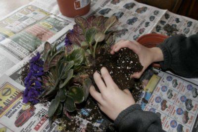 как посадить фиалку с корнями