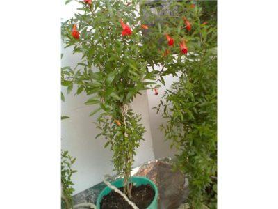 квамоклит кипарисная лиана выращивание из семян