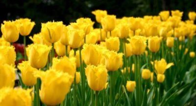 как выглядит тюльпан