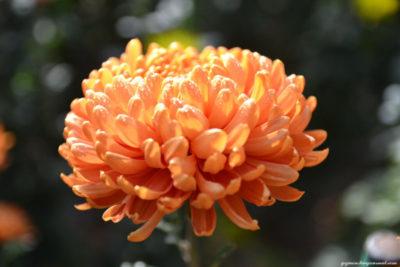хризантемы многолетние посадка и уход в открытом грунте