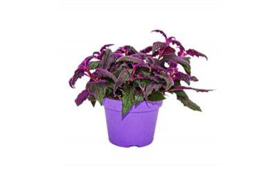 комнатное растение с бордовыми листьями