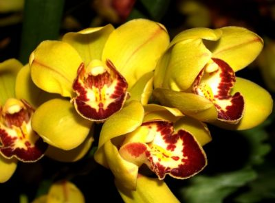 редкие сорта орхидей