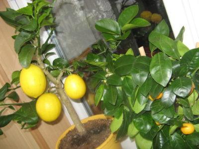 лимонник растение комнатное
