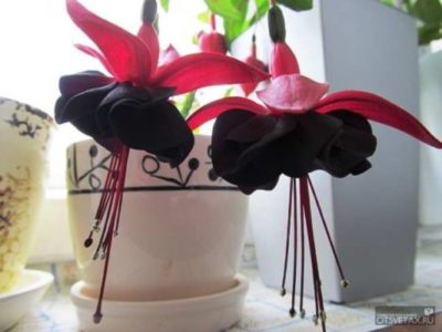 фуксия домашний цветок