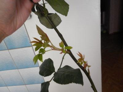 как размножить кустовую розу