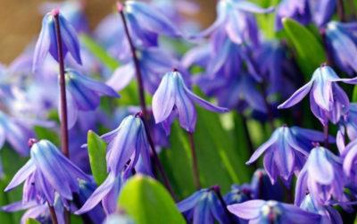 луковичные многолетние цветы