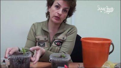 как сохранить клубни георгинов в городской квартире