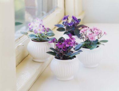 когда цветут фиалки в домашних условиях