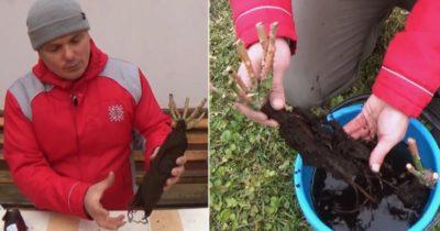 как сохранить саженец розы до посадки в грунт