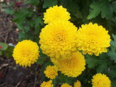 мелкие многолетние цветы