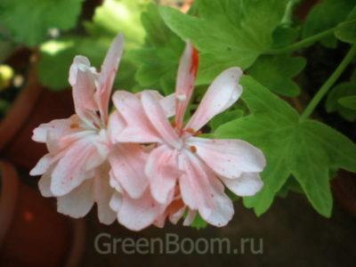 swanland pink пеларгония