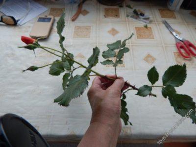 как посадить черенок розы в картошку
