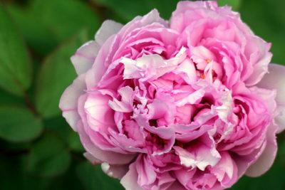 джулия роуз пион