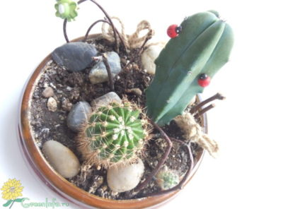 кактусы без колючек виды