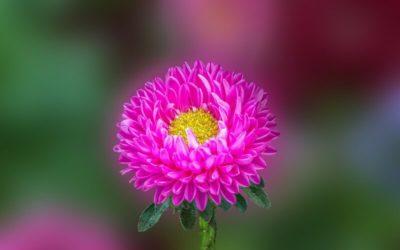цветок похожий на астру