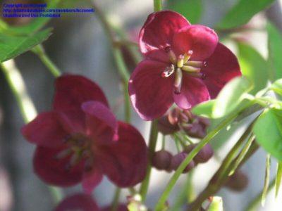 цветы лианы многолетние