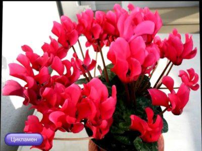 домашние цветы которые цветут круглый год