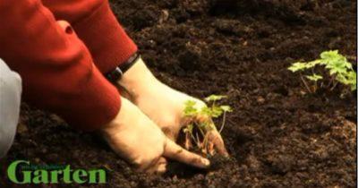 на какую глубину сажать пионы
