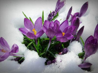 крокус цветок в домашних условиях