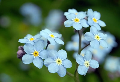 цветок незабудка как выглядит