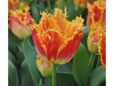 махровые тюльпаны сорта