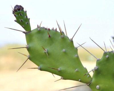 кактус с плоскими листьями