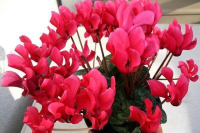 уход за цикламеном после цветения