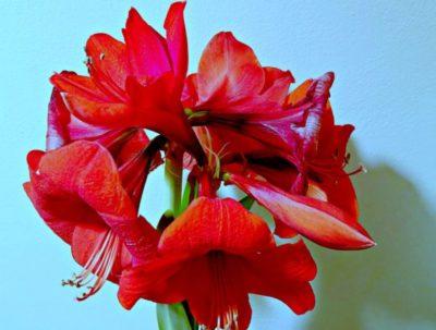 комнатные луковичные цветы