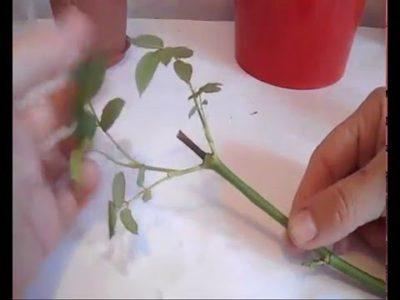размножение плетистых роз черенками летом