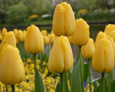 многоцветковые тюльпаны сорта