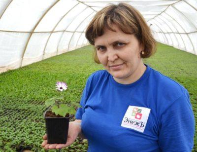 цинерария гибридная выращивание из семян