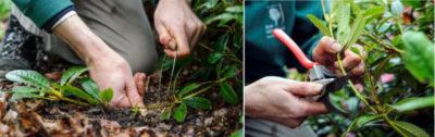 размножение флоксов черенками летом