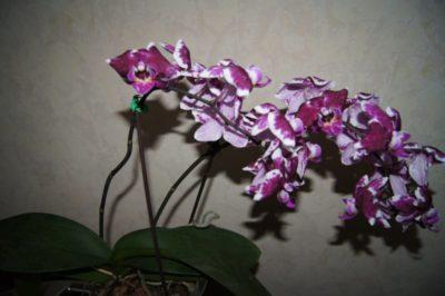 почему не растет орхидея