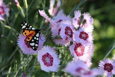 турецкая гвоздика выращивание
