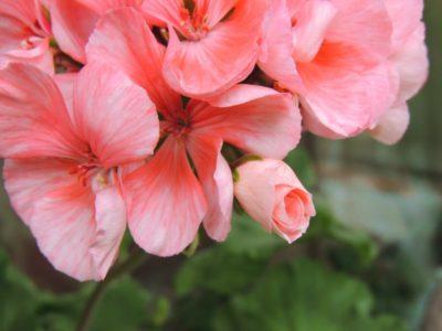пеларгония pink sybil