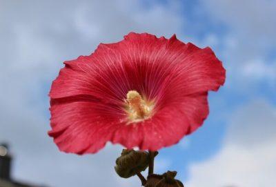 мальва когда цветет