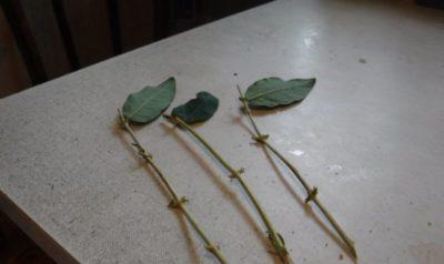 как срезать черенок розы