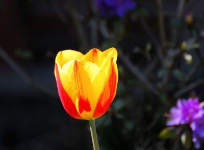 красно желтые тюльпаны