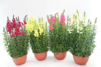 новые многолетние цветы