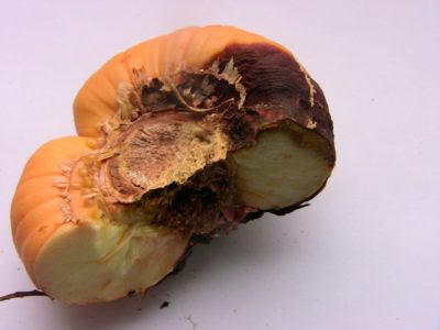 как подготовить луковицы гладиолусов к посадке весной